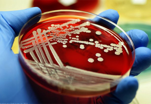 бактерия стафилококка